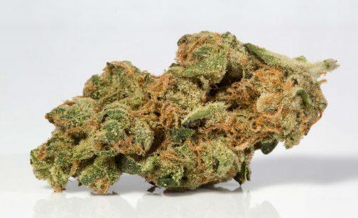 The White is an Hybrid Marijuana strain,
