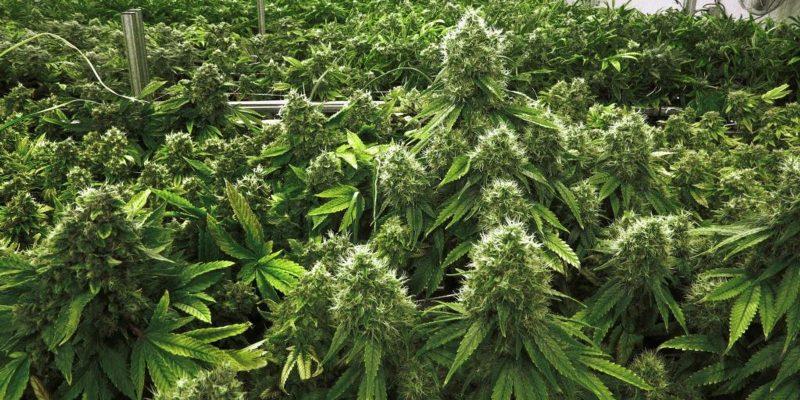 Marijuana strains ready for sale online