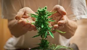 Marijuana and its impact on hypertension