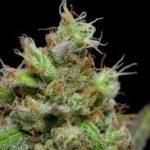 Super Silver Haze Cannabis Strain Review